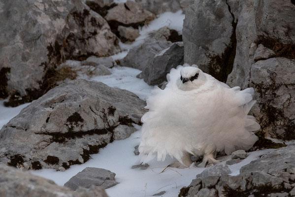 Aufgeplustertes Schneehuhn im Karwendel / Deutschland (Bildnummer 5113)