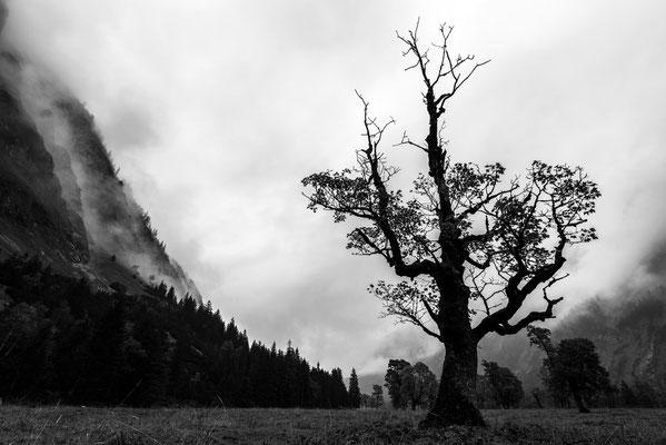 Alter Ahornbaum trotzt dem Gebirgswetter / Österreich (Bildnummer 7575)