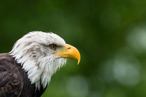 Weißkopfseeadler im Portrait / Deutschland (Bildnummer 0598 )