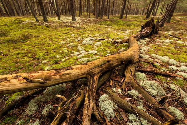 Gestürzter Baum auf Rügen / Deutschland (Bildnummer 2033)