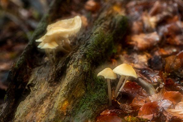 Helmlinge im Herbst, Doppelbelichtung / Deutschland (Bildnummer 191007_7979)