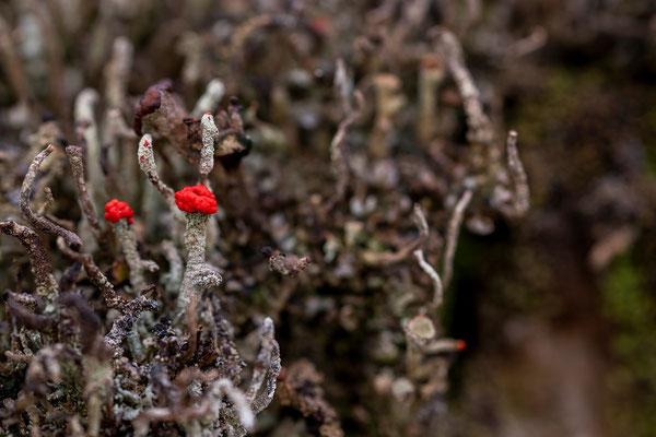 Becherflechte Cladonia macilenta III