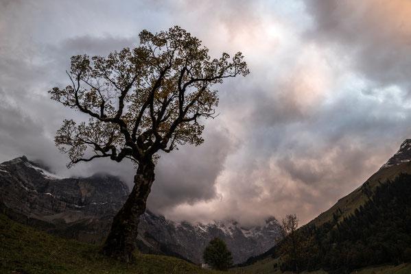 Ahornbaum trotzt den Gebirgsbedingungen im Ahornboden / Österreich (Bildnummer 7746)