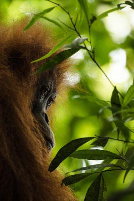 Orang Utan im Grün des Dschungels / Indonesien (Bildnummer 751620)