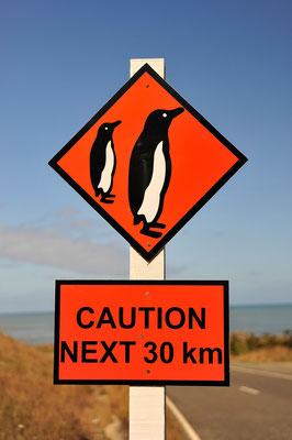 Pinguine auf der Straße / Neuseeland (Bildnummer 8171)