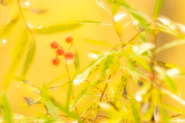 Beeren der Zaunrübe und Weidenblätter als Doppelbelichtung