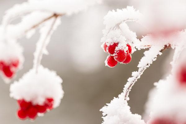 Rote Zaunrübenbeeren im Schnee III