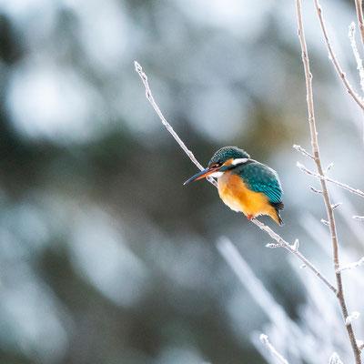 Murmel - Eisvogel im Karwendel