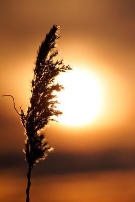 Schilf im Gegenlicht der untergehenden Sonne / Deutschland (Bildnummer 130119_6251)