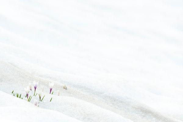 Krokusse im Schnee I
