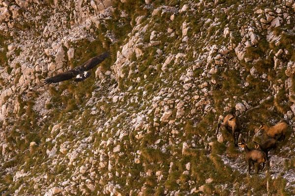 Auf der Jagd, Steinadler und seine Beute im Karwendel / Deutschland (Bildnummer 0188)
