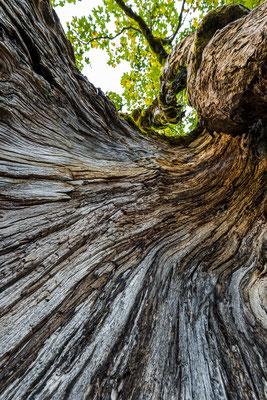 Uralter ausgehöhlter Ahornbaum im Karwendel / Österreich (Bildnummer 7158)
