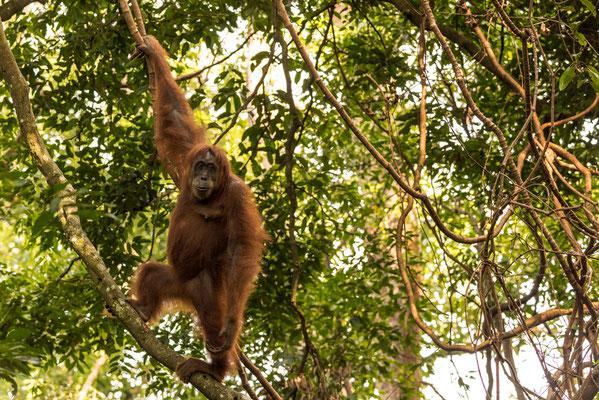 Klassische Pose eines Orang Utans / Indonesien (Bildnummer 817745)