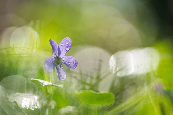 Duftveilchen im Regen / Deutschland (Bildnummer 18_2076)