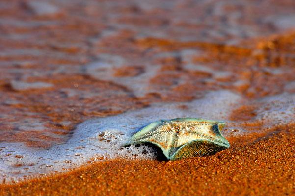 Am Strand angespülter Seestern / Neuseeland (Bildnummer 6178)