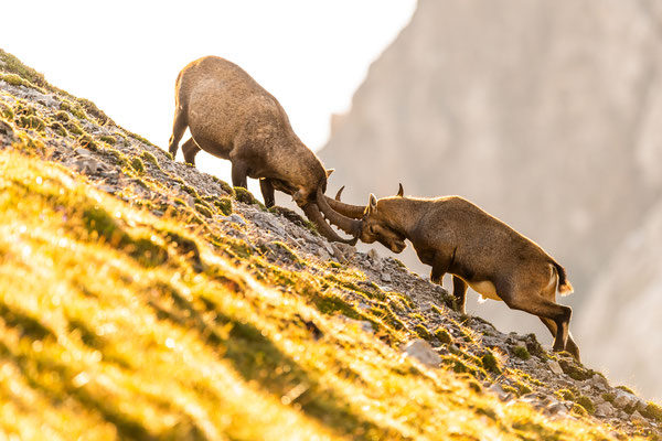 Kämpfende Alpensteinböcke, Karwendel  / Österreich (Bildnummer 6378)