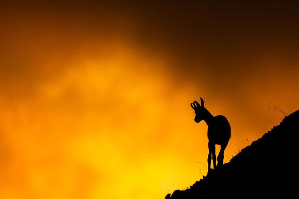 Gams im Gegenlicht der untergehenden Sonne, Karwendel / Deutschland (Bildnummer 6865)