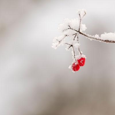 Rote Zaunrübenbeeren im Schnee I