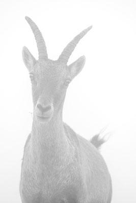 Steinbock Weibchen im Nebel