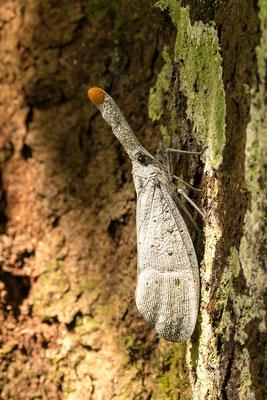 Weißer Laternenkäfer im Dschungel / Indonesien (Bildnummer 066222)
