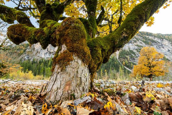 Alter Ahorn im Karwendel / Tirol (Bildnummer 191016_8501)