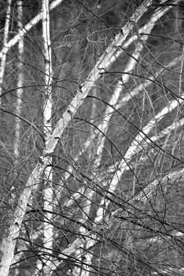 Junge Birken im Winter / Deutschland (Bildnummer 756921)