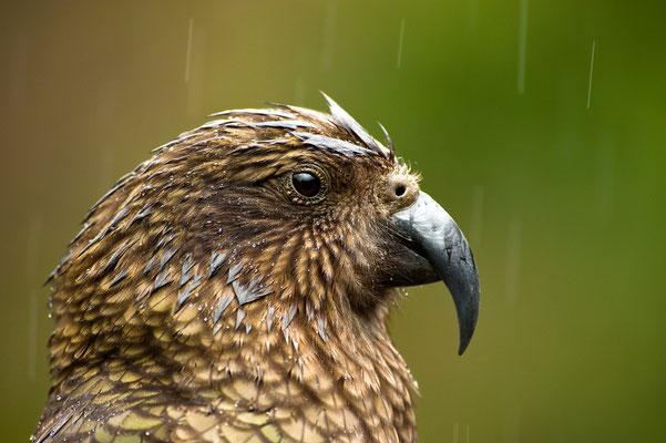 Kea im Regen / Neuseeland (Bildnummer 7354)