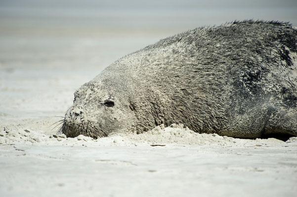 Seelöwin döst nach Sandbad / Neuseeland (Bildnummer 8637)