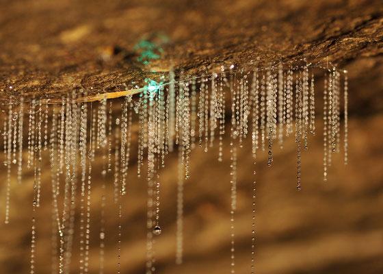 Glühwurm mit Fangfäden in einer Höhle / Neuseeland (Bildnummer 5842)