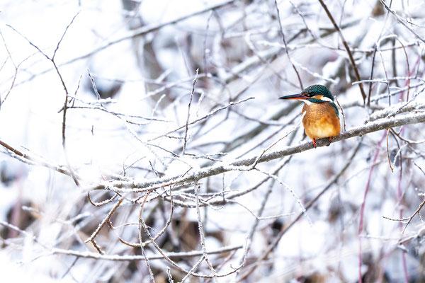 Eisvogel Dame im Schnee im Isartal I