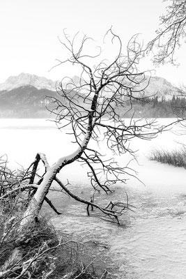 Baum im Eis am Barmsee