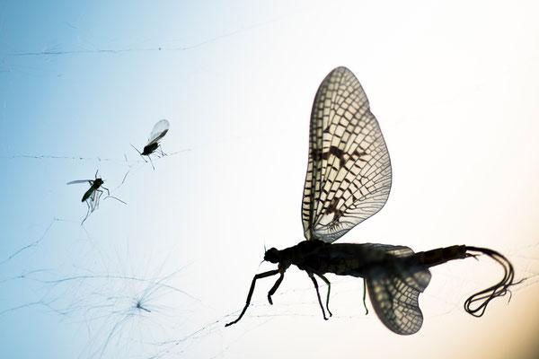 Maifliege gefangen in einem Spinnennetz / Deutschland (Bildnummer 813197)