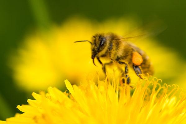Frühlings-Seidenbiene im Landeanflug / Deutschland (Bildnummer 811889)