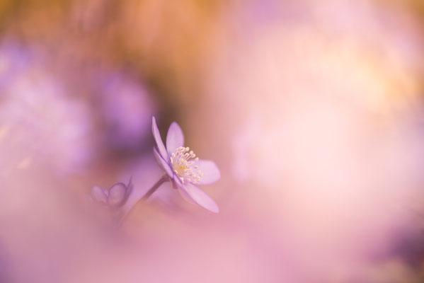 Leberblümchen in Rosa / Deutschland (Bildnummer 814551-2)