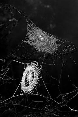 Spinnennetze mit Tautropfen / Deutschland (Bildnummer 110924_9865)