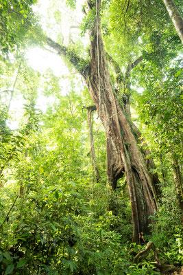 Gigantischer Banyanbaum und kleiner Mensch, Gunung Leuser Nationalpark / Sumatra (Bildnummer 816019)