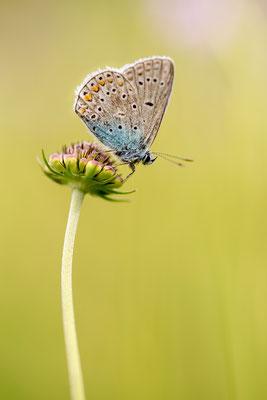 Bläuling sitzt auf einer Blüte (Bildnummer 4256)