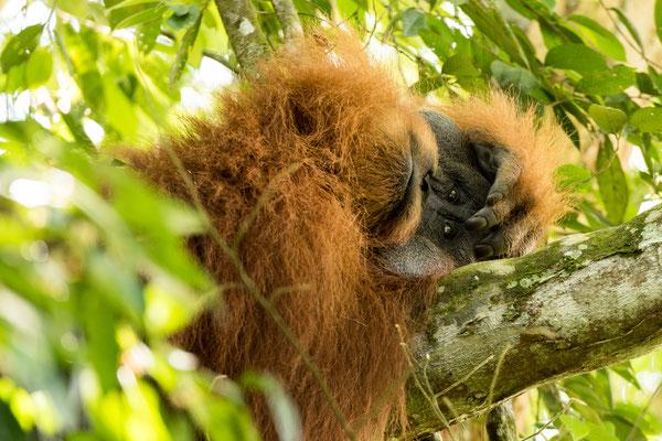 Gelangweilter Orang Utan Mann im Dschungel / Indonesien (Bildnummer 5558)