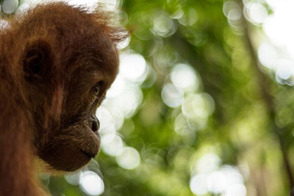 Junger Orang Utan im Dschungel von Sumatra / Indonesien (Bildnummer 754162)