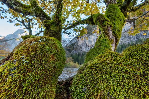 Bemooster Ahorn im Karwendel / Tirol (Bildnummer 191016_8619)