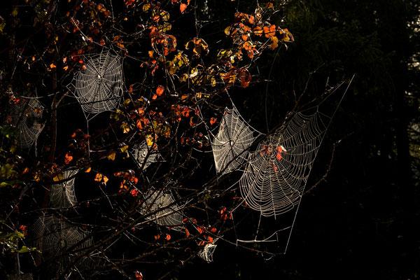 Spinnennetze am frühen Morgen / Deutschland (Bildnummer )