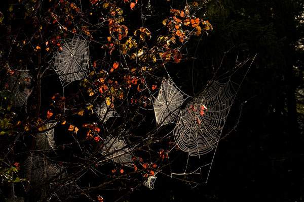 Spinnennetze am frühen Morgen / Deutschland (Bildnummer 9853 )