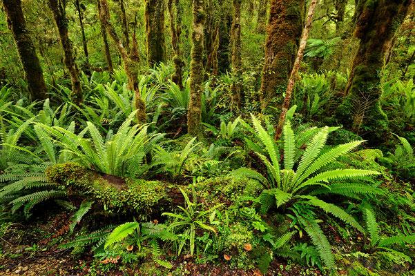 Farne im Urwald / Neuseeland (Bildnummer 5635)