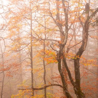 Alte Buche im Herbstnebel / Deutschland (Bildnummer 191028_1587)