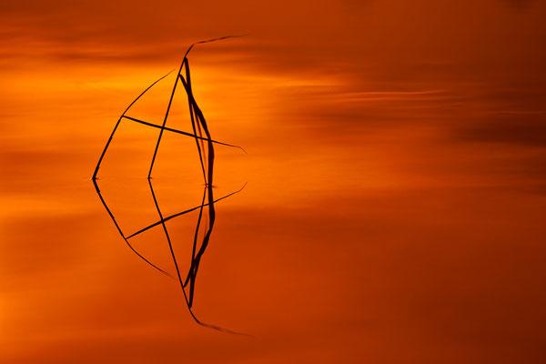 Schilfspiegelung 1, Serie von Schilf im Sonnenuntergang / Deutschland (Bildnummer 110210_4863)