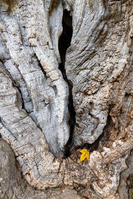 Stamm eines sehr alten Ahornbaumes, Karwendel / Tirol (Bildnummer 191002_7851)