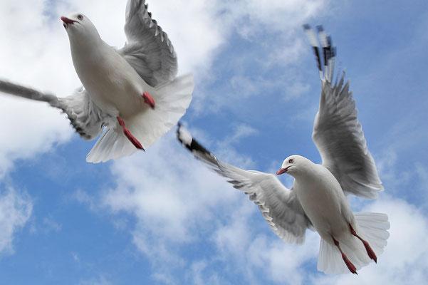 Abflug zweier Möwen / Neuseeland (Bildnummer 4209)