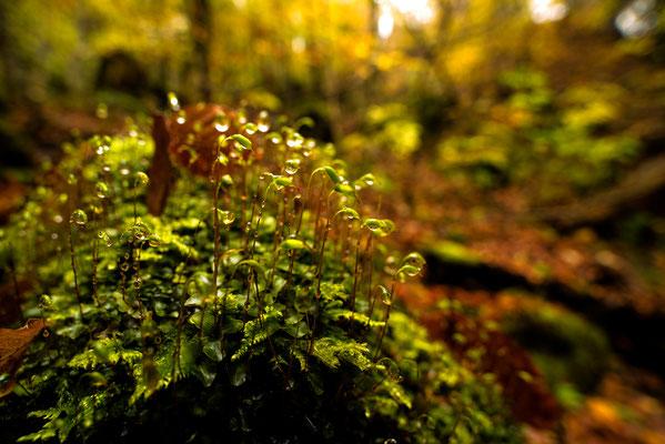 Moosblüte am Waldboden / Deutschland (Bildnummer 9125)