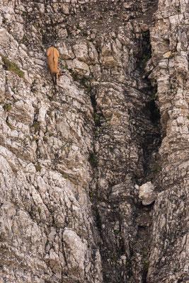 Gams in der senkrechten, Karwendel / Deutschland (Bildnummer 2821)