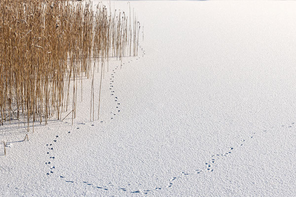 Fuchsfährte auf dem Eis, Barmsee
